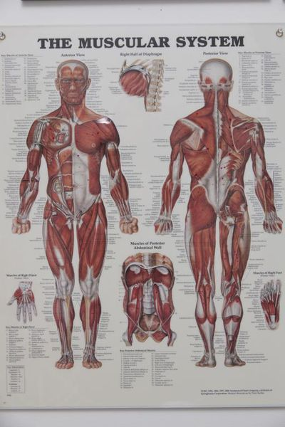 muscular sys